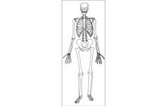 human skeleton Free Dxf for CNC